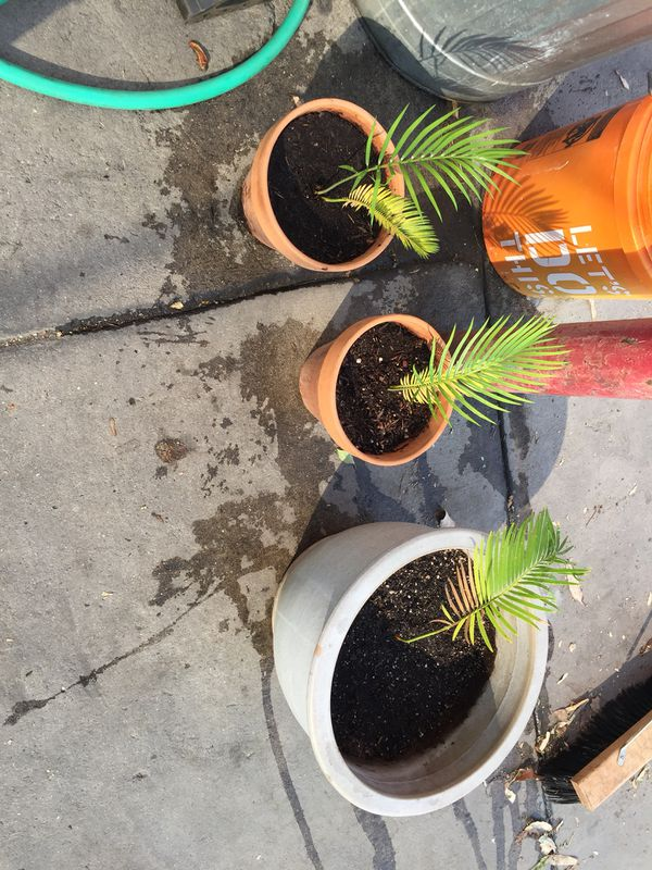 Sago palm trees (Home & Garden) in Fresno, CA - OfferUp House Plants For Sale In Fresno on restaurants in fresno, events in fresno, condos in fresno, farms in fresno, apartments in fresno, homes in fresno, employment in fresno, cars in fresno, housing in fresno, hotels in fresno, schools in fresno,