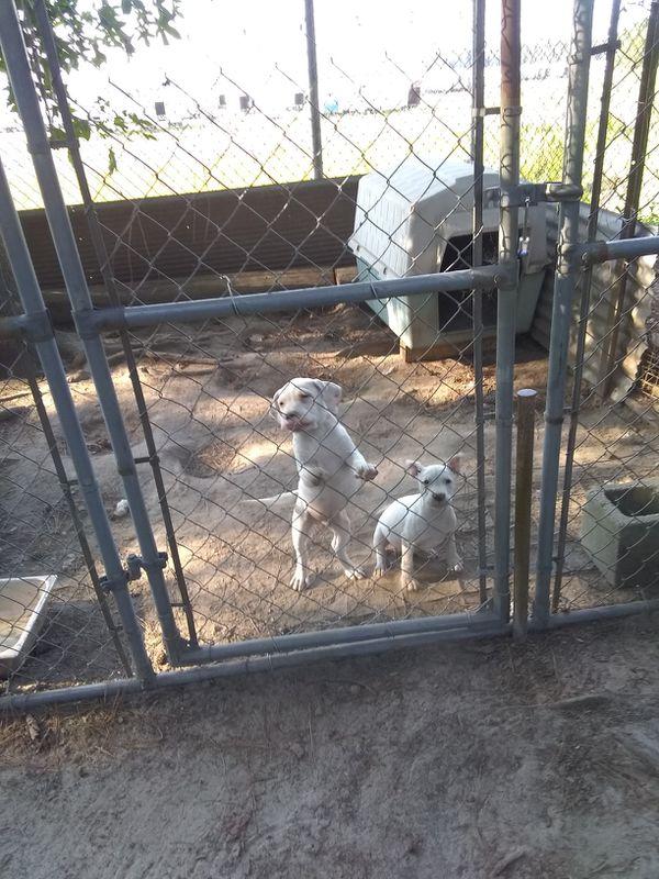Pit Bull Puppies For Sale In Petersburg Va Offerup