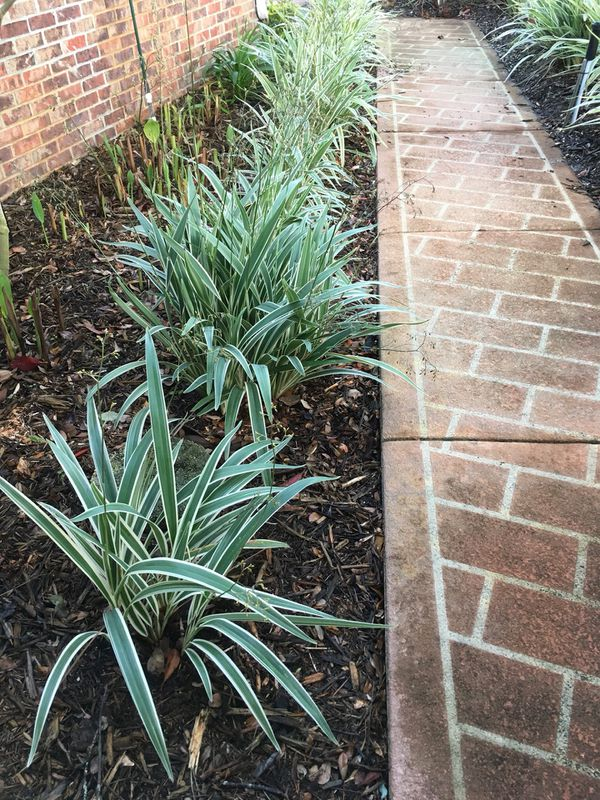 Variegated Liriope Muscari Plants For Sale In Palm Coast Fl Offerup