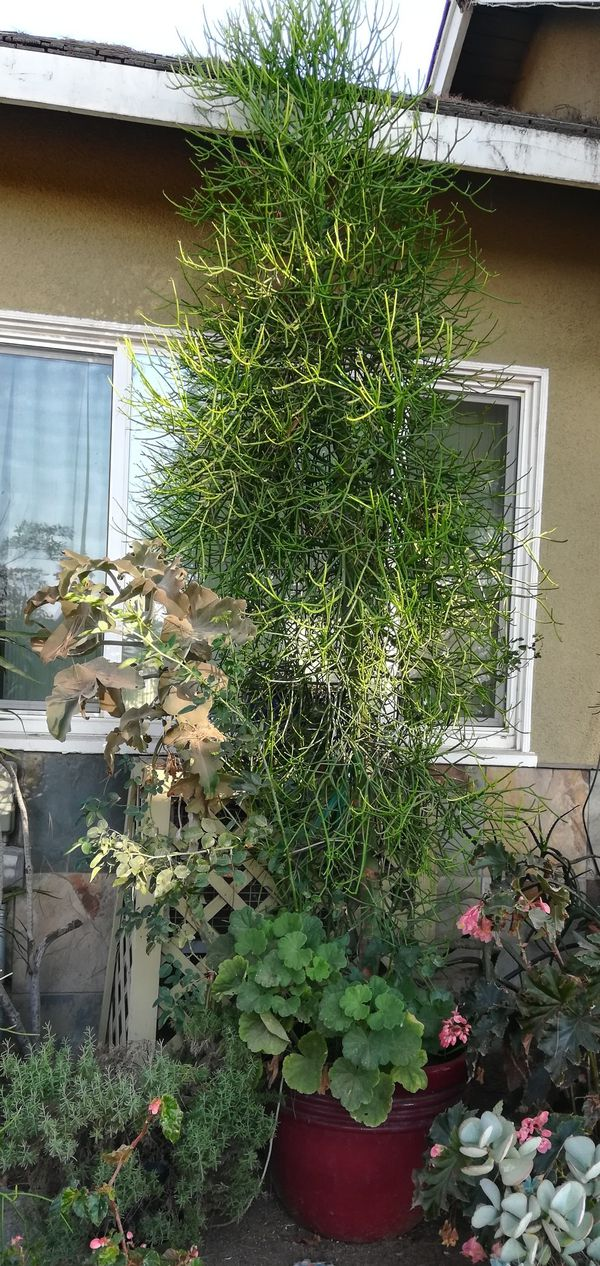 Huge Pencil Cactus tree in nice pot for Sale in Norco, CA - OfferUp