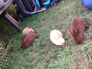 Rabbits for Sale in Lothian, MD