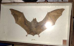 Real Brown Bat specimen in case for Sale in Westminster, MD