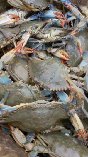 Live Blue Crabs For In Virginia Beach Va