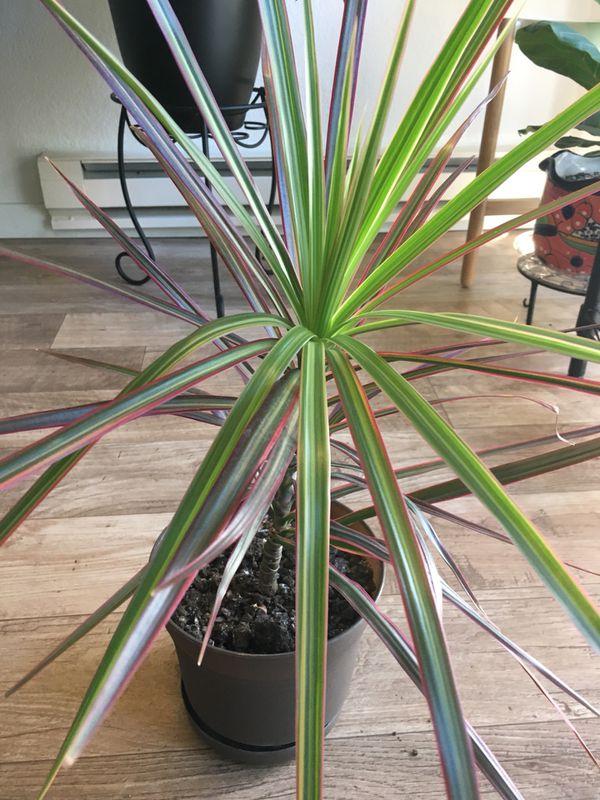 Dragon tree plant - colorama variety (Home & Garden) in Everett, WA ...