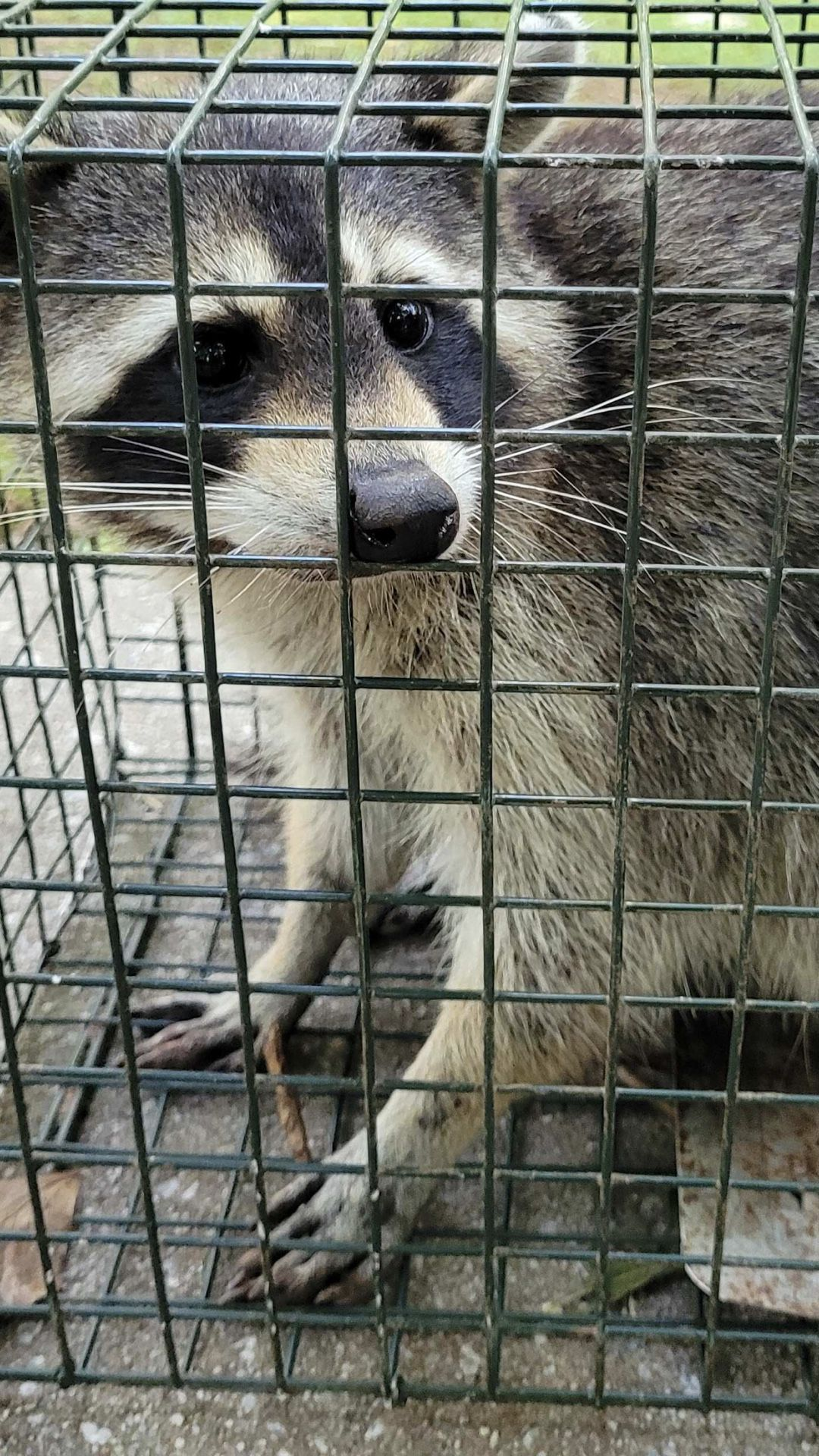 WILDLIFE  AND DEAD ANIMALS REMOVAL   Any wildlife issues rats snakes raccoons possums give me a call I'll take care of it