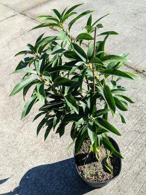Photo Emery mango trees
