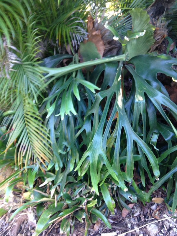 Big staghorn ferns for sale for Sale in Homestead, FL - OfferUp