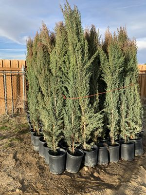 Photo 5 gallon Italian cypress