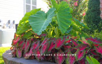 Elephant Ears And Caladiums For Sale In Waxahachie Tx Offerup