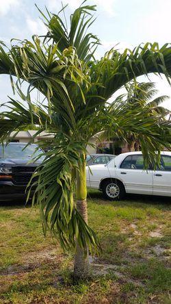 Royal Palm Plants Thumbnail