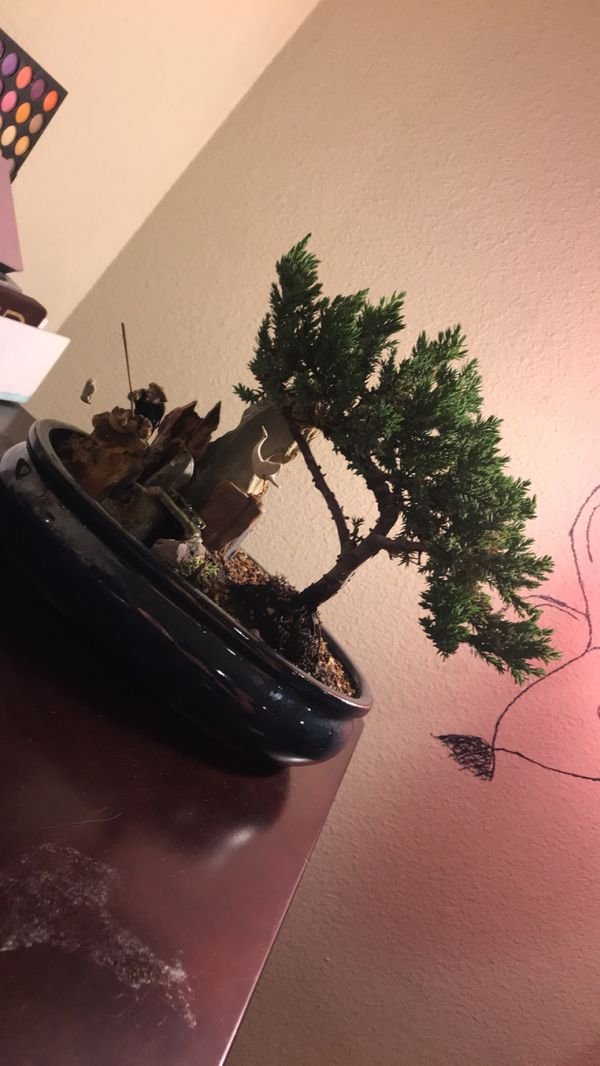 bonsai tree for sale in aurora co offerup