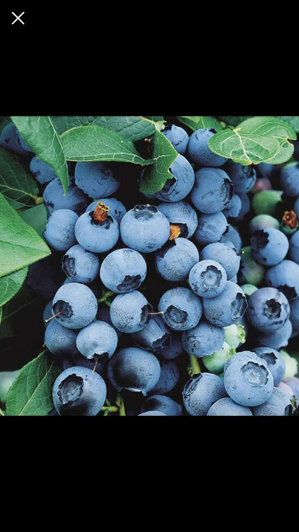 Blueberry Plants 3 Years Old For Sale In Des Moines Wa