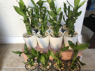 Lucky Bamboo With Nice Ceramic Vase Live Plant Indoor  Thumbnail