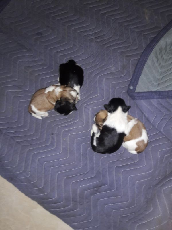 Shih Tzu Puppies For Sale In Los Angeles Ca Offerup