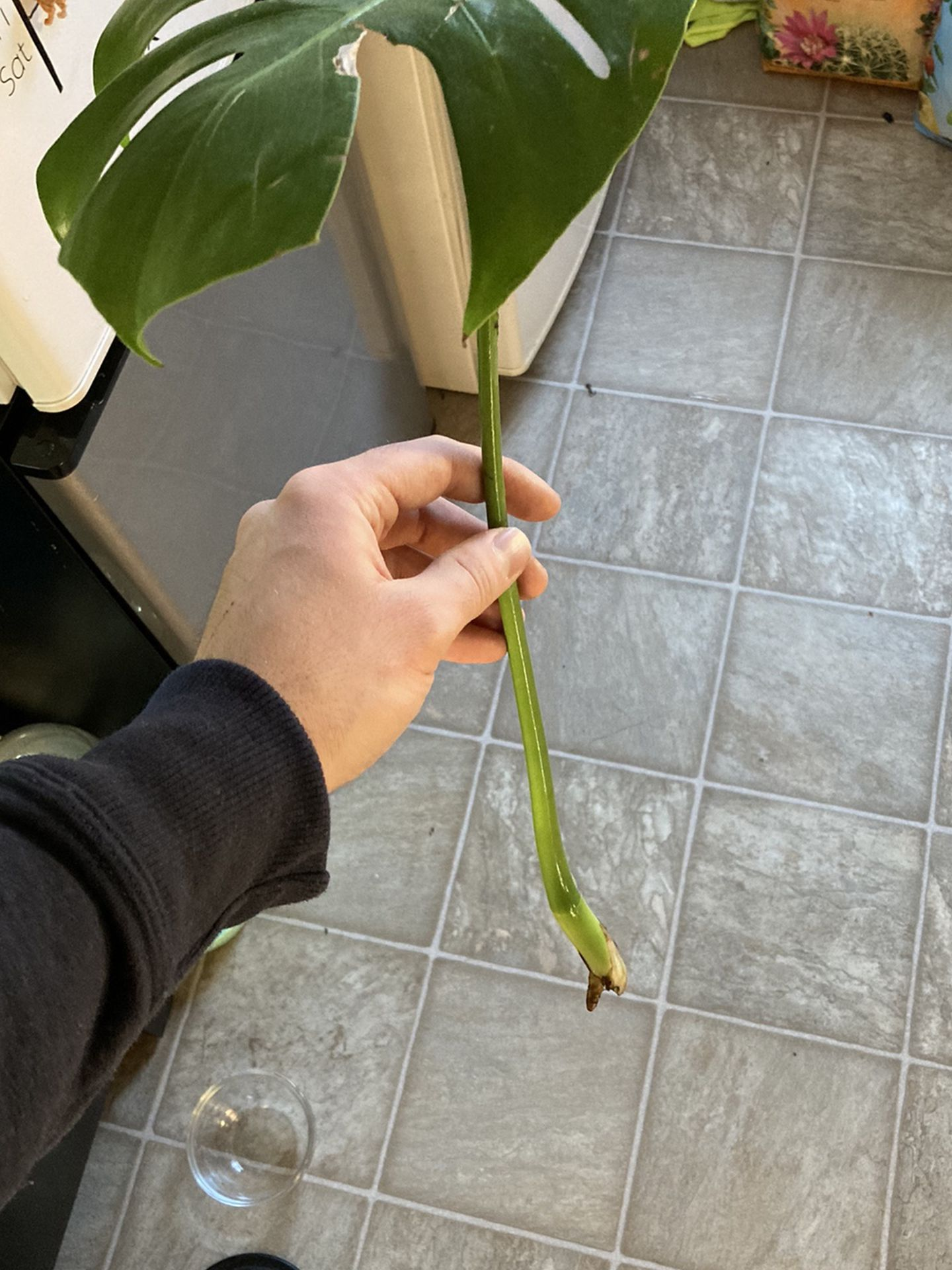 Monstera Deliciosa Cutting And Babies
