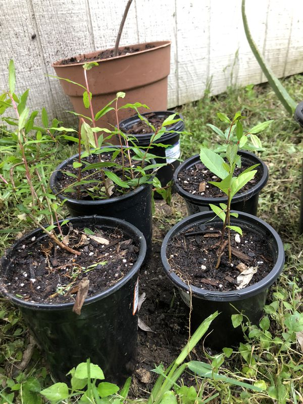 Baby Pomegranate trees for Sale in San Antonio, TX - OfferUp