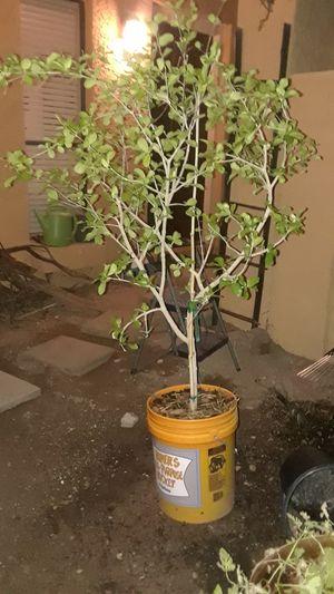 Best tree for AZ for Sale in Phoenix, AZ