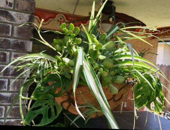 2 Varieties of Spider Plant, Swiss Cheese Vine, Jade Succulent & Juncus  Corkscrew Grass in Hanging Basket for Sale in Hanford, CA - OfferUp