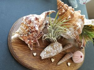 Seashells and air plants for Sale in Winter Park, FL