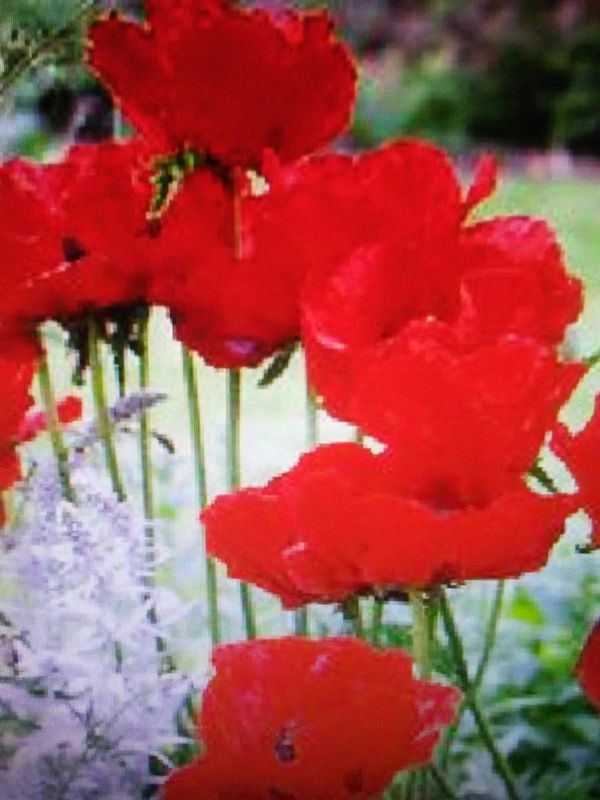 Red poppy flower seeds for sale in rockwell nc offerup mightylinksfo