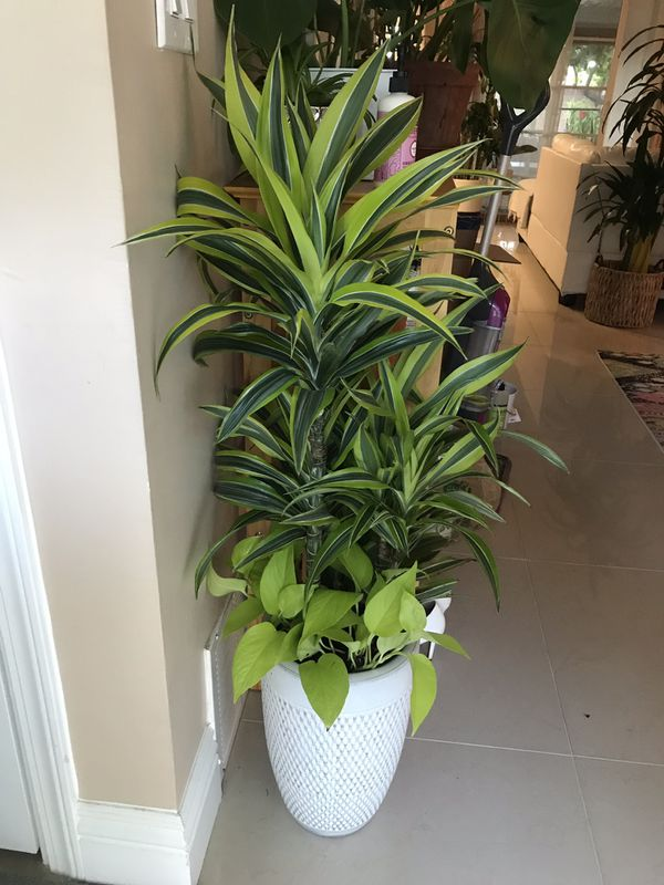 Beautiful Customized Dracaena Plant With Neon Pothos For