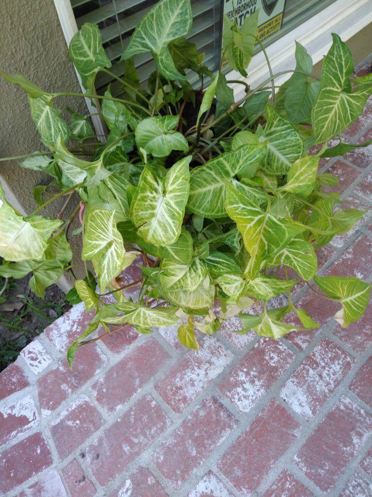 Indoor/Outdoor Healthy Plant