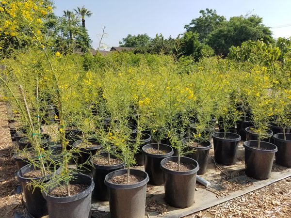 Palo Verde Tree Or Desert Museum For Sale In Rancho