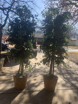 7 Ft Ficus Trees Thumbnail