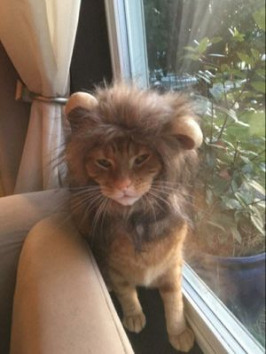 Cat lion wig for Sale in WA, US