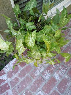 Indoor/Outdoor Healthy Plant Thumbnail