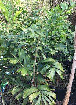 Foxtail Palm Thumbnail