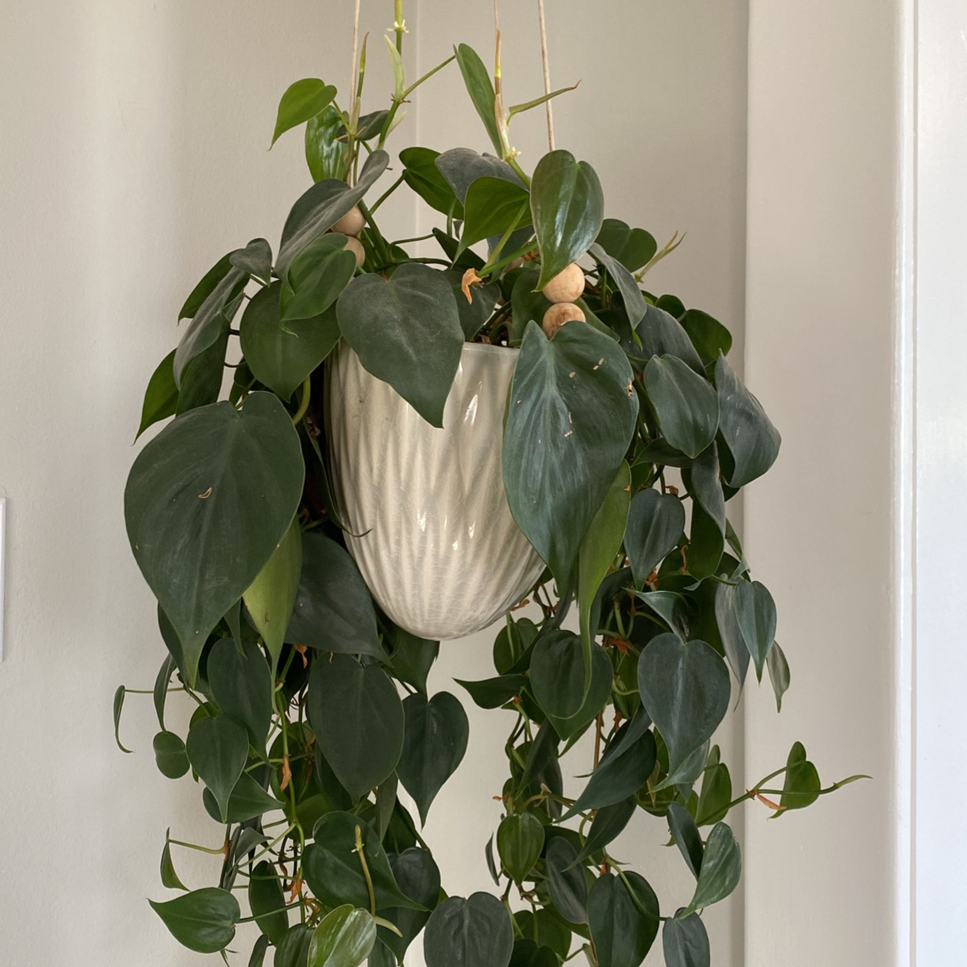 BEAUTIFUL hanging Plant