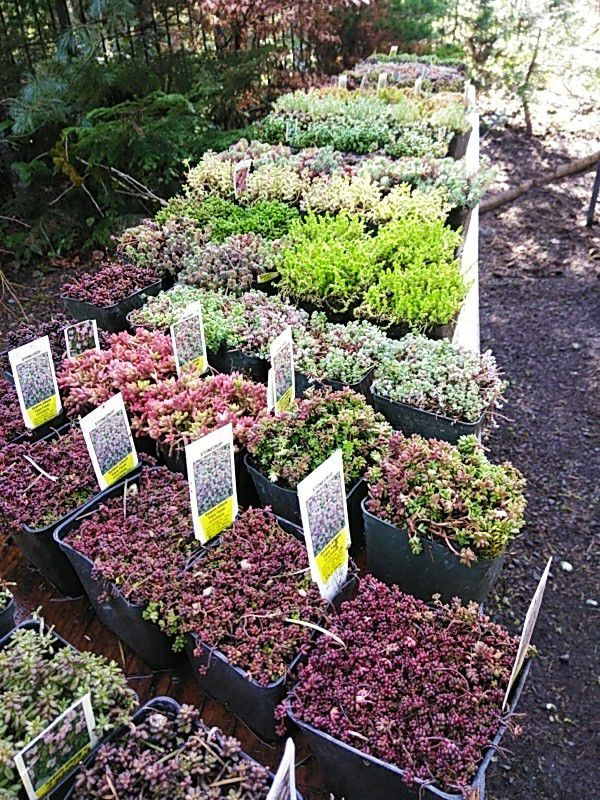Kreations Indoor Gardening Center Krissys kreations succulents ground covers and more home krissys kreations succulents ground covers and more home garden in eatonville wa offerup workwithnaturefo