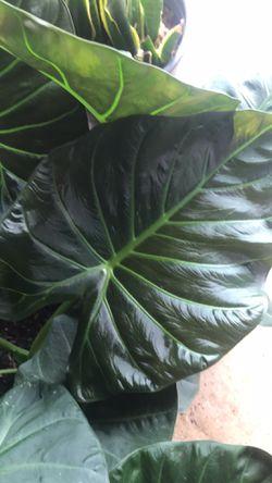 Hermosa Planta De Alocasia ! Thumbnail