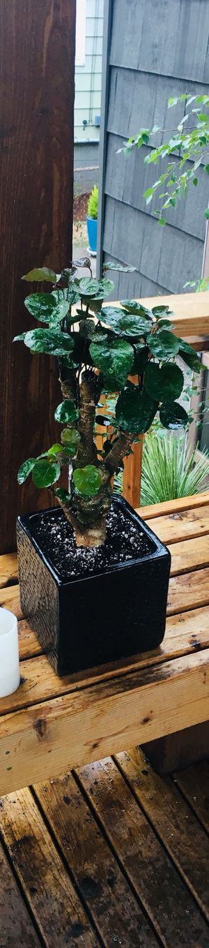 Live indoor Aralia Ming Fabian plant in a black textured ceramic planter flower pot—firm price for Sale in Seattle, WA