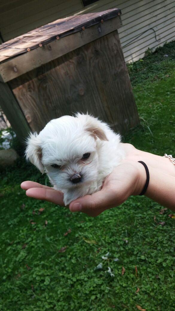 Maltese Shih Tzu Puppies For Sale In Wheeling Il Offerup