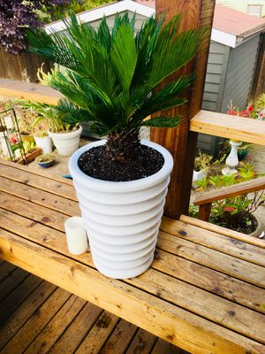 Live indoor Sago Palm plant in beautiful textured ceramic planter flower pot—firm price for Sale in Seattle, WA