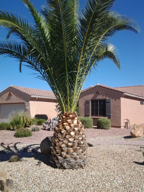 Pineapple Palm For Sale In Sun City West Az Offerup