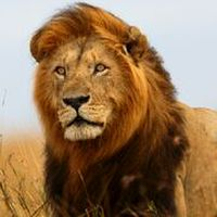 Magic-Lion