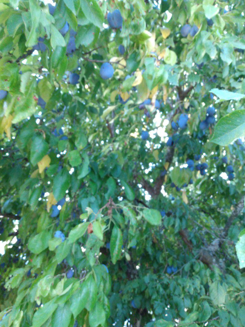 Very sweet organic plum. $1.00 Per Pound