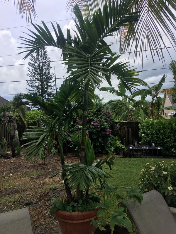 Multi Trunk Alexander Palm For Sale In Port St Lucie Fl