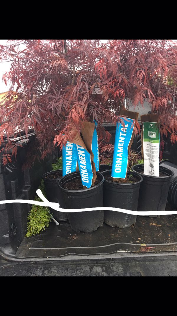 Jappines maple trees for Sale in Spokane Valley, WA - OfferUp