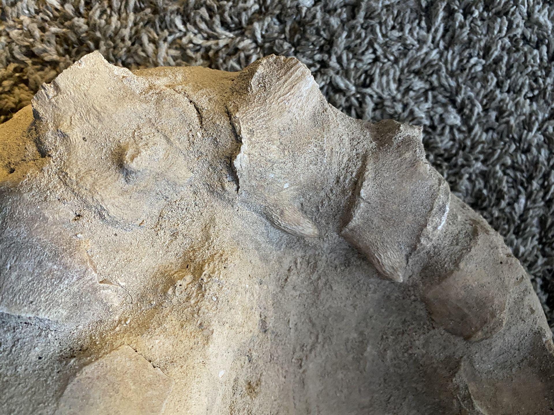 Alligator Fossil