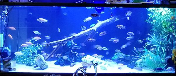AQUARIUM AND AFRICAN CICHLIDS PEACOCKS AND HAPS for Sale in Pasadena, TX -  OfferUp