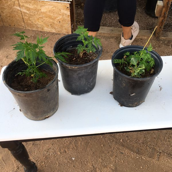 Para 237 So Chinaberry Tree 1gal For Sale In Apple Valley