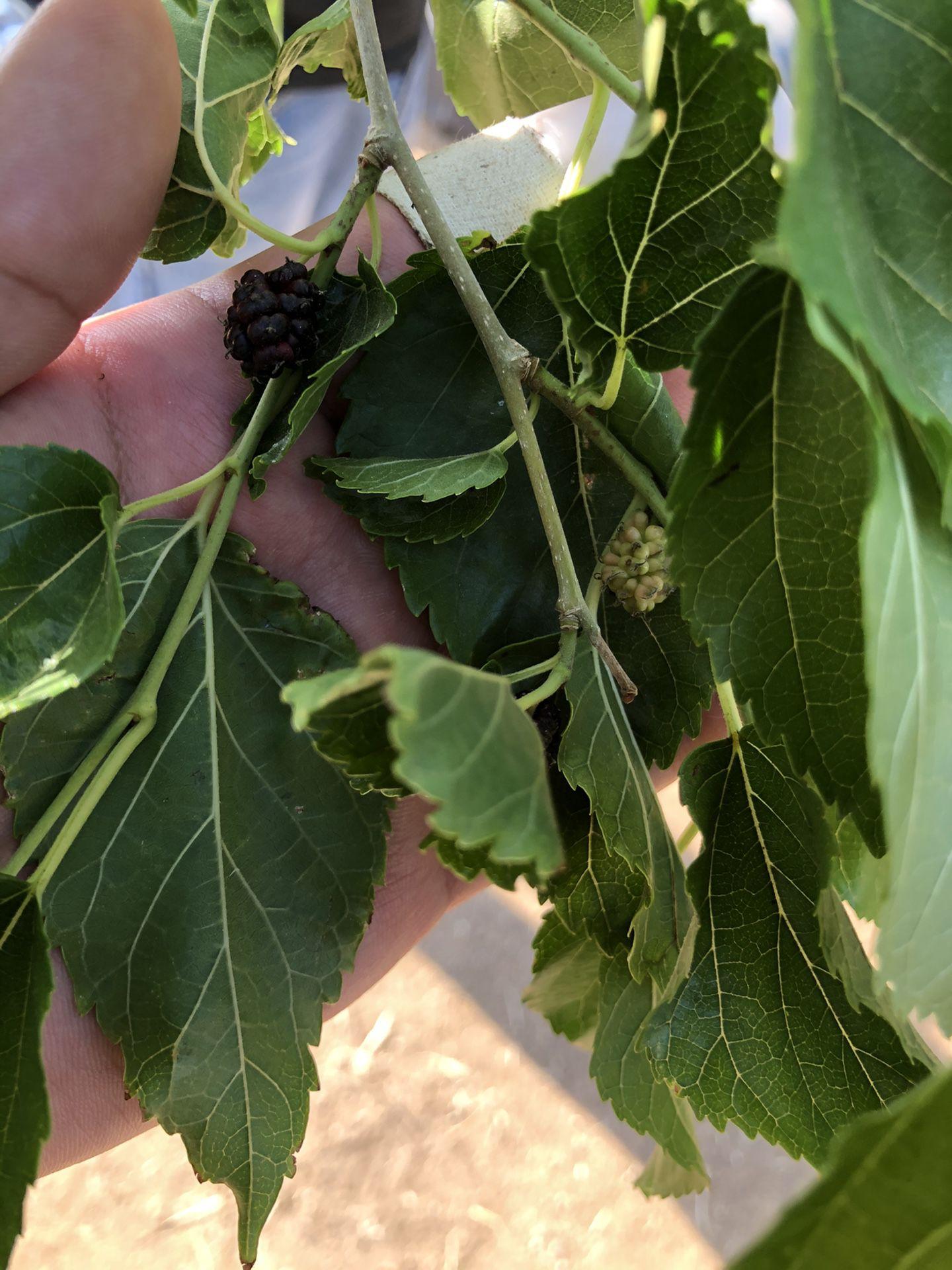 Mora/Mulberry
