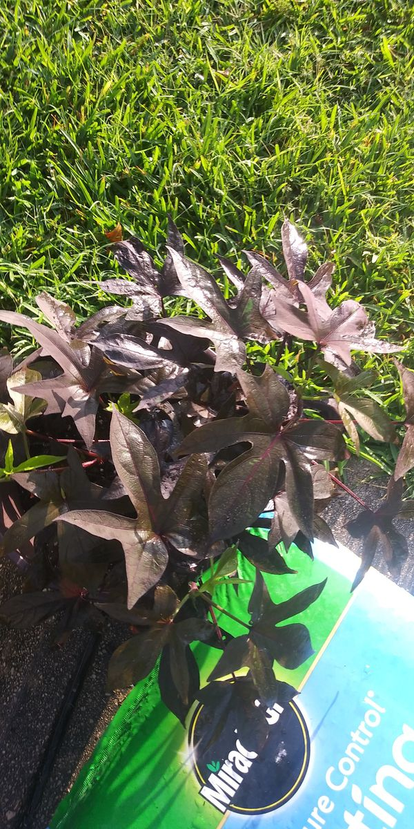 Purple Ivy For Sale In San Antonio Tx Offerup