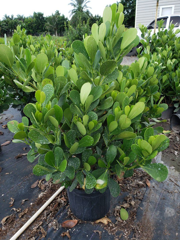 Clusias Plants For Inmediate Privacy! 3 Feet Tall