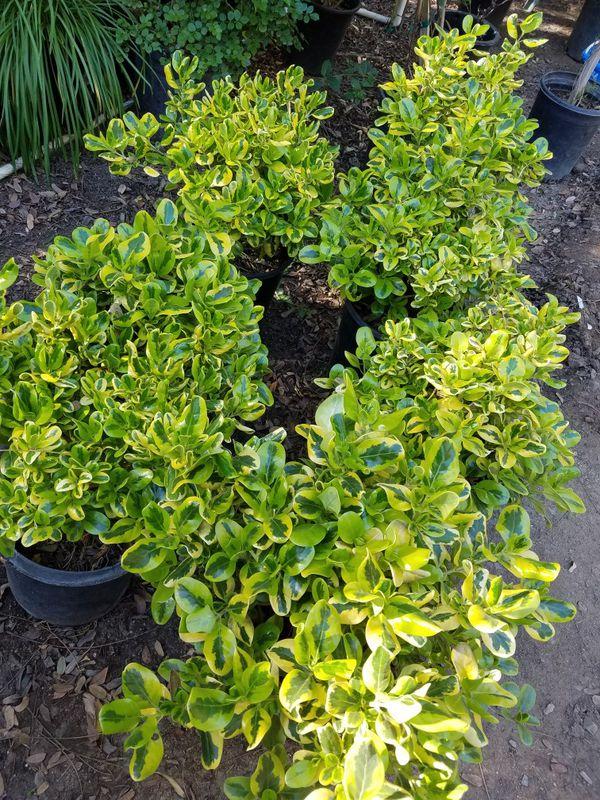 BOUGAINVILLEA BOWER VINES FRUIT TREES BAMBOO CYPRESS BUSHES ...