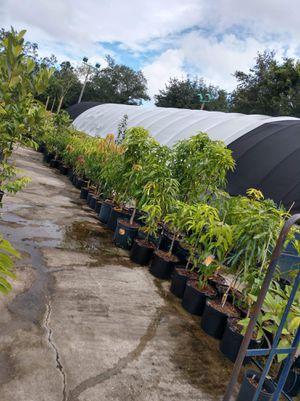 Photo Yasser mango trees 2